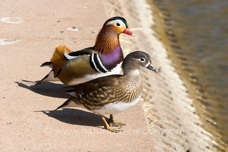 Mandarinente, Mandarin-Ente, Mandarinenente, Mandarinen-Ente, Pärchen, Aix galericulata, Dendronessa galericulata, mandarin duck, mandarin