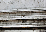 UNESCO World Heritage Site, the ancient city of Polonnaruwa, Sri Lanka - monkey on Kiri Vehera stupa walls Hanuman Langur (Semnopithecus entellus)