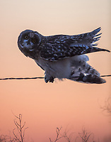 A Juvenile Short-eared Owl perches upon a wire fence at sunset.