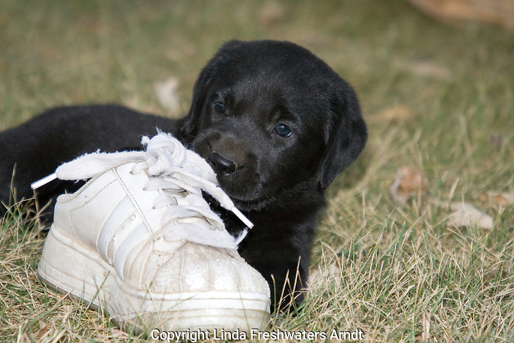 Black Labrador retriever puppy chewing on a tennis shoe