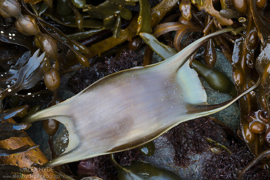 Spotted Ray (Raja montagui) egg case or mermaid's purse washed up on strandline. Anglesey, Wales, UK. December.