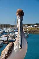 Close-up of a Brown pelican posing with boats in a soft-focus background at Pillar Point Marina south of San Francisco, California.