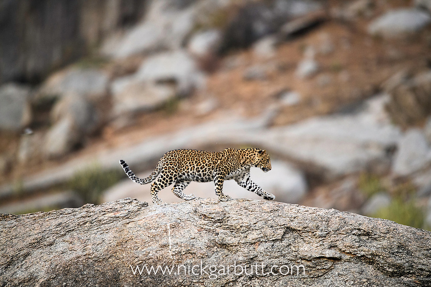Male leopard cub (Panthera pardus) on rocky outcrop. Jawai / Bera in Rajasthan, India.