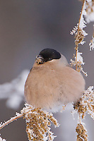 Eurasian Bullfinch, Pyrrhula pyrrhula, female eating seeds of Stinging Nettle(Urtica dioica) with frost by minus 15 Celsius, Lenzerheide, Switzerland, Europe