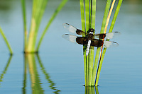 Widow Skimmer (Libellula luctuosa), male perched on cattail, Dinero, Lake Corpus Christi, South Texas, USA