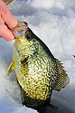00247-012.17 Black Crappie is being pulled from hole in ice.  Fish, lake, winter, river, angle.