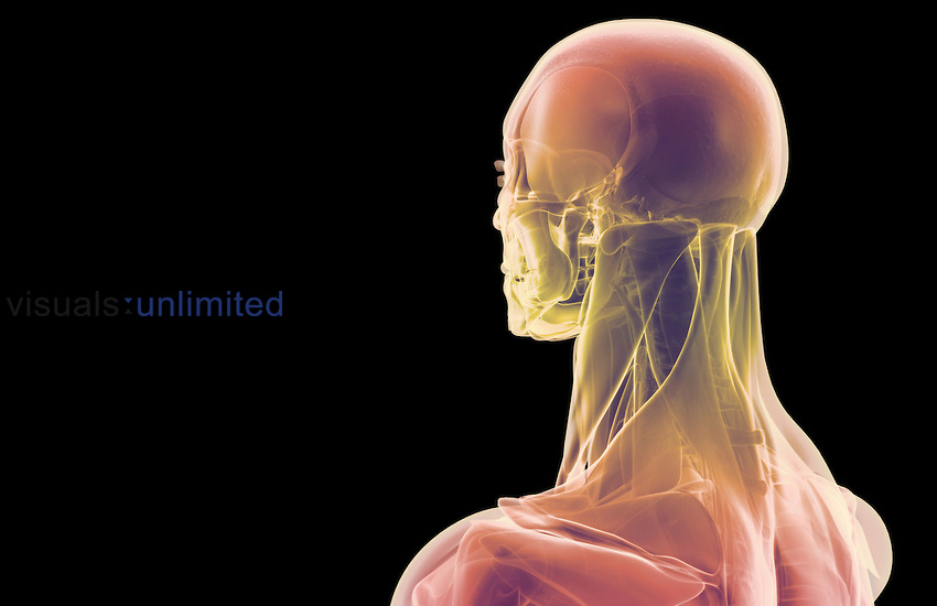 A posterolateral view (left side) of stylized muscles of the head and neck. Royalty Free