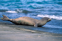 Hawaiian monk seal pup, ilioholokauaua, Neomonachus schauinslandi, tagged & marked for research, endangered & endemic, Midway Atoll, Papahanaumokuakea Marine National Monument, Northwestern Hawaiian Islands, Hawaii, USA, Pacific Ocean