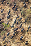 Central Africa aerial, African bush elephants (Loxodonta africana)<br />