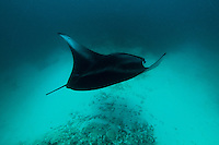 This image was taken of the beautiful reef manta (manta alfredi) which is a smaller version of the giant manta in the Maldives atolls of the Indian Ocean. This dive site was not known for manta sightings but I was lucky enough to distance myself from the group so that when I turned around she showed up by surprise at my side. I tried to position myself above her so as to shoot the capture the contrast between her coat and the ocean bed. What I love about the image is the sense of mystery and of freedom she inspires.