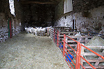 Barn with sheep, Lake District, Cumbria, England, UK