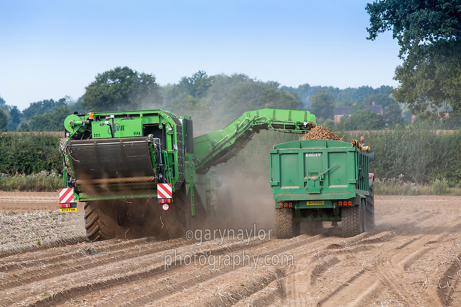 Harvesting potatoes with a four row self propelled AVR Puma - Norfolk, September
