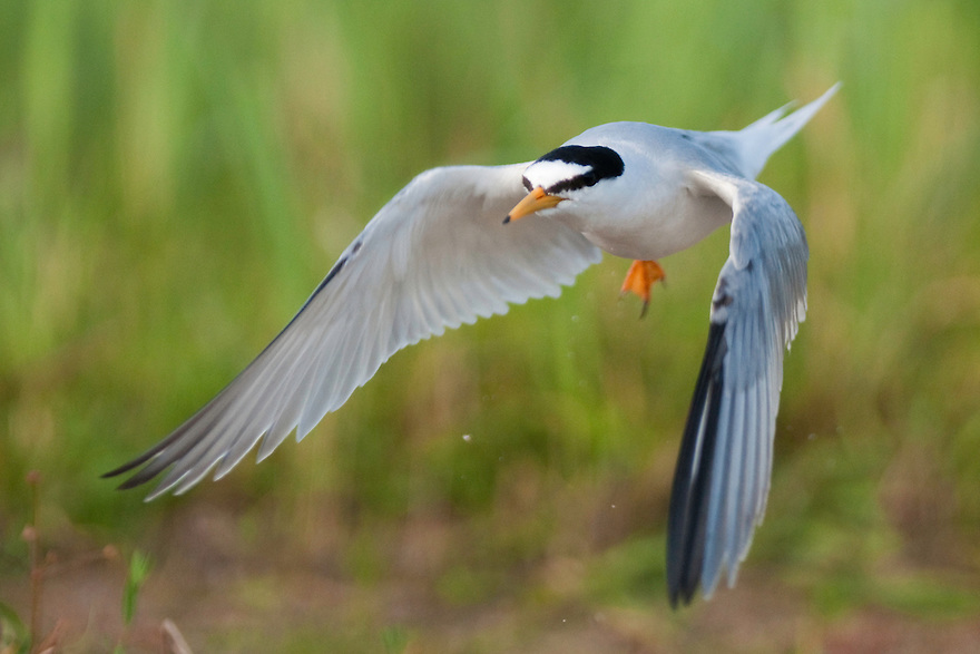 Little Tern flying (Sterna Albifrons), Prypiat River, Belarus