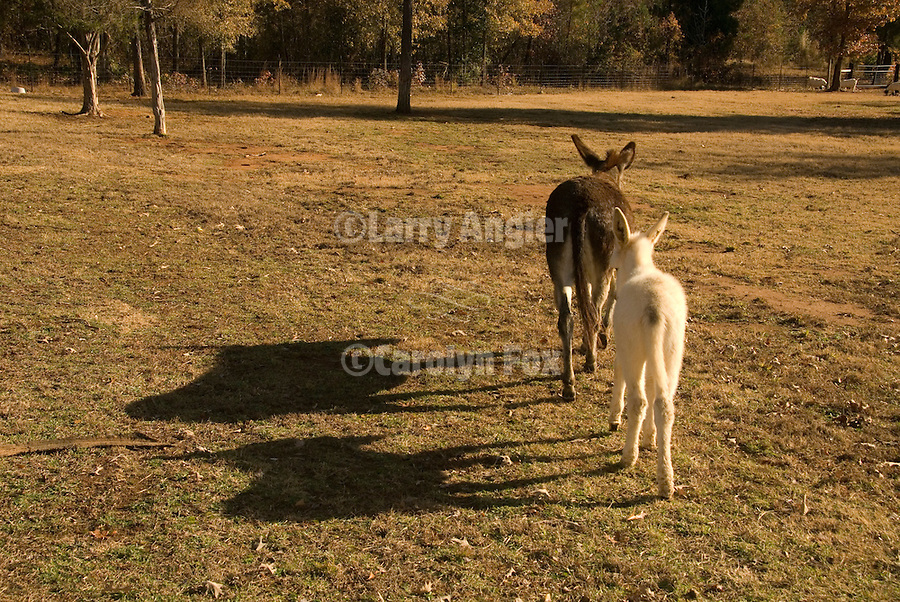 Donkey mother leads her white baby across a field in The South