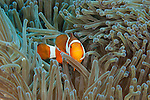 Clown fish over anemone of the coast of Okinawa Japan.