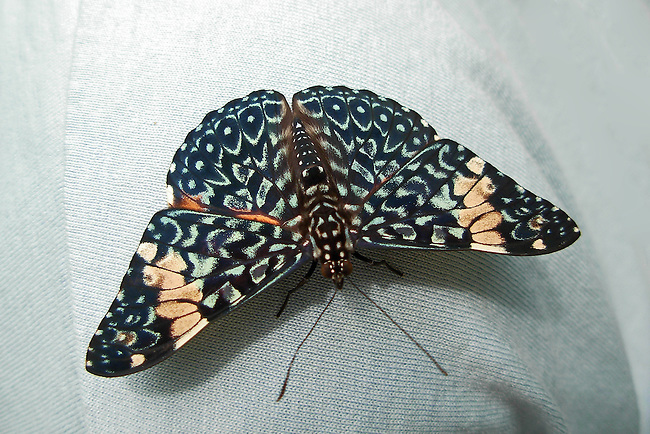 Red Cracker Butterfly sitting on the shoulder of a man wearing a light blue t-shirt. The butterfly is full-winged and red coloring, markings and bands are very distinct.