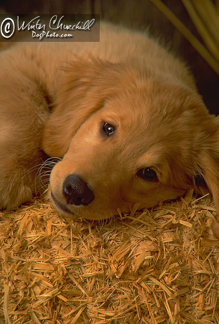 Golden Retriever puppy<br /> <br /> <br /> <br /> <br /> <br />  Shopping cart has 3 Tabs:<br /> <br /> 1) Rights-Managed downloads for Commercial Use<br /> <br /> 2) Print sizes from wallet to 20x30<br /> <br /> 3) Merchandise items like T-shirts and refrigerator magnets
