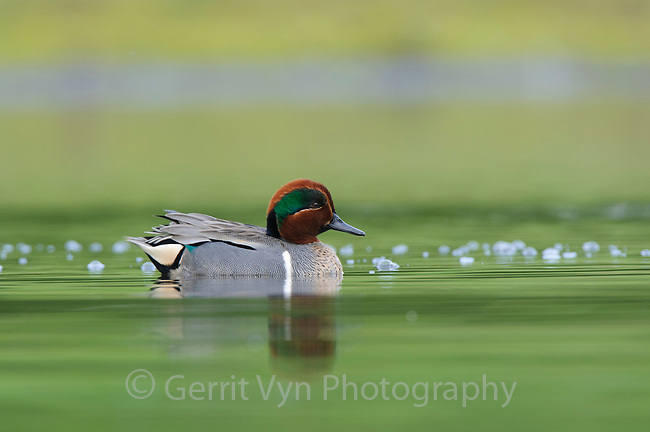 Adult male Green-winged Teal (Anas carolinensis). King County, Washington. April.