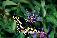 03009-00918 Black Swallowtail (Papilio polyxenes) on Mountain Blue (Centaurea montana)  Marion Co.  IL