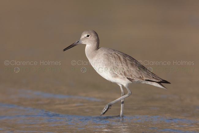 Willet (Catoptrophorus semipalmatus) standing in the surf while searching for food