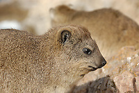 Rock Hyrax (Procavia capensis), close-up - Hermanus, South Western Cape, South Africa