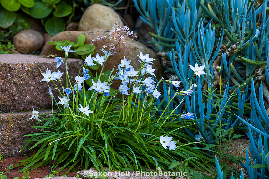 Ipheion (Starflower, Spring Starflower), Jim Bishop and Scott Borden garden
