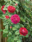 Souvenir du Dr. Jamain rose