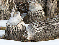 These cottonwood stumps show evidence of beaver activity.