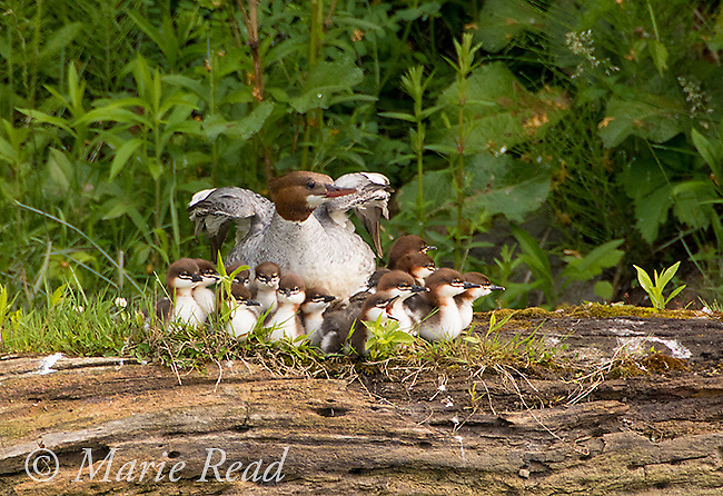 Common Merganser (Mergus merganser) female with 15 ducklings, perched on log. Female stretching her wings after resting. New York, USA