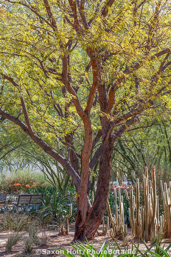 Prosopis chilensis - Thornless Chilean Mesquite tree Sunnylands garden