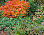 Kubota Garden, Seattle, WA:  Japanese maple with fall foliage with low growing barberry,  a snall pine and sword ferns
