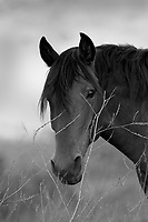 USA's magnificent Wild Horses rescued and living on the Return to Freedom Wild Horse Sanctuary in Santa Barbara, California.