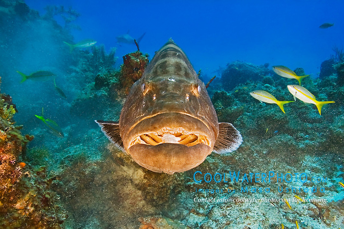 Black Grouper, Mycteroperca bonaci, West End, Grand Bahama, Atlantic Ocean.