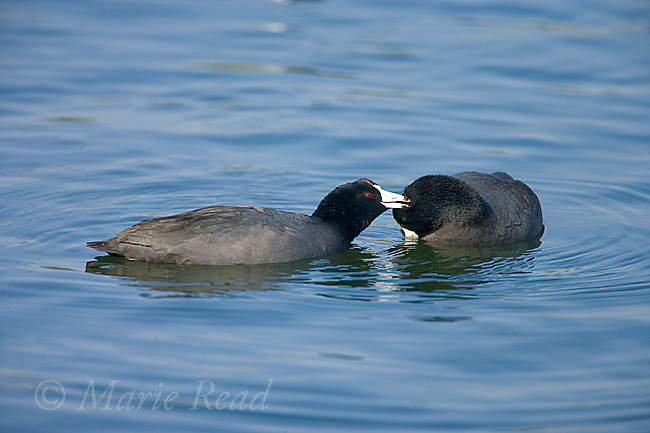 American Coots (Fulica americana) pair, one preening its mate as part of courtship, California, USA<br /> From Birds of North America: &quot;...the following are involved with courtship and establishment of a pair bond: Billing, Bowing, and Nibbling; these 3 displays all closely related and often follow each other sequentially; apparently occur between potential mates and help establish mutual recognition during pair formation. In Billing, 2 birds touch each other&rsquo;s bill when meeting, followed by Bowing by submissive bird and presentation of its head and neck to its partner. Dominant bird then begins Nibbling, working its bill through feathers of submissive partner..&quot;