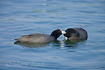 """American Coots (Fulica americana) pair, one preening its mate as part of courtship, California, USA<br /> From Birds of North America: """"...the following are involved with courtship and establishment of a pair bond: Billing, Bowing, and Nibbling; these 3 displays all closely related and often follow each other sequentially; apparently occur between potential mates and help establish mutual recognition during pair formation. In Billing, 2 birds touch each other's bill when meeting, followed by Bowing by submissive bird and presentation of its head and neck to its partner. Dominant bird then begins Nibbling, working its bill through feathers of submissive partner.."""""""