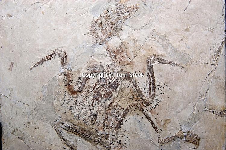 Rare Chinese feathered dinosuar, Longchengornis sanyanensis, Mesozoic bird,  China
