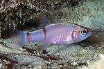 Apogon binotatus, Barred cardinalfish, Bonaire