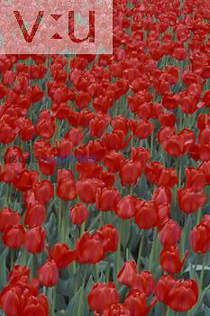 Bed of red Tulips.