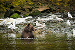 Bears hunting salmon in a stream at Pavlof Harbor on Chichagof Island, Inside Passage, Alaska, USA