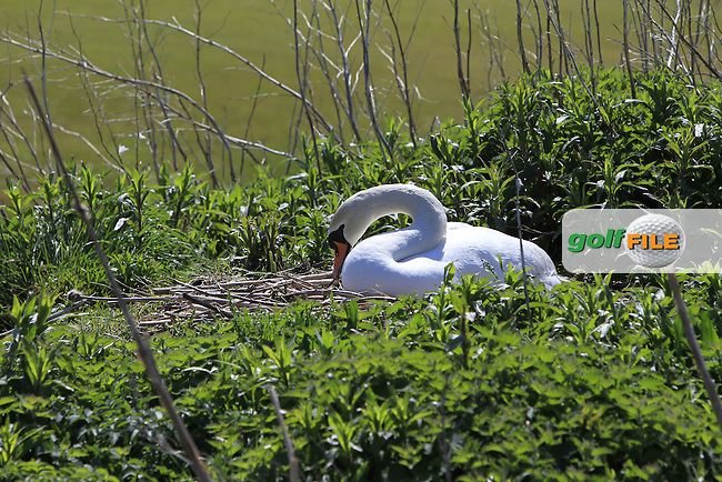 Swan making a nest beside the 7th fairway during Round 4 of the Flogas Irish Amateur Open Championship at Royal Dublin on Sunday 8th May 2016.<br /> Picture:  Golffile / Thos Caffrey