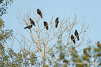 Group of Common Ravens (Corvus corax), Northern Minnesota.