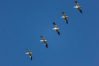 Snow Geese flying in formation, central valley, California.