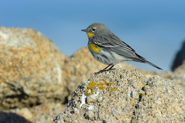 """Audubon's"" Yellow-rumped Warbler (Setophaga coronata) in basic plumage foraging on coastal rocks. Monterey COunty, California. December."