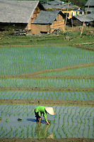 Woman in bright green shirt planting rice in flooded rice paddy, Sapa Region, Northern, Vietnam