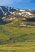 Caribou herd, Thorofare flats, Denali National Park, Alaska