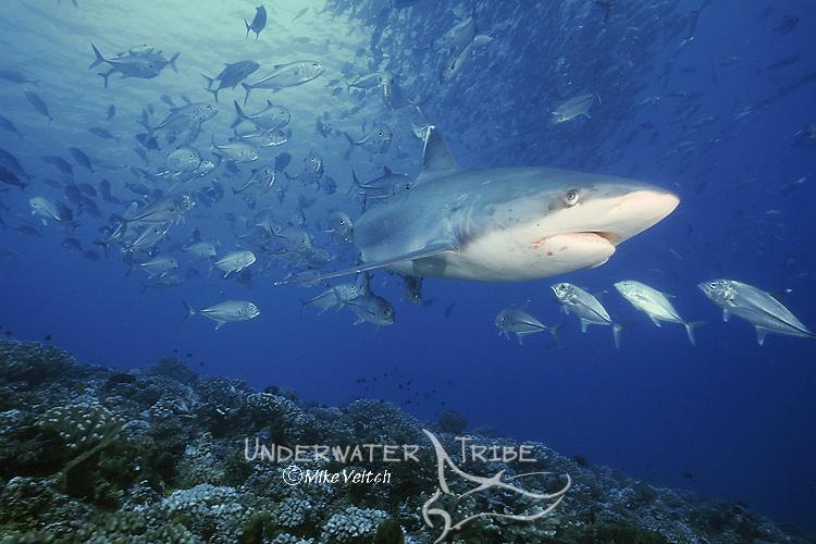 A school of Bigeye Jacks, Caranx sexfasciatus, bombards a large Silvertip Shark, Carcharhinus albimarginatus, Rangiroa Atoll, Tuamotus, French Polynesia, Pacific Ocean
