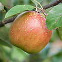"Apple 'Tun Apple', mid September. ""A very old Essex dessert apple, with little known history, first sent to the RHS in 1927. It has a quite distinct, tall, conical shape and green skin, heavily flushed red, with some russeting. The flesh is firm, sweet and juicy. It can be stored until December.""  (Burnwode Fruit Trees)"