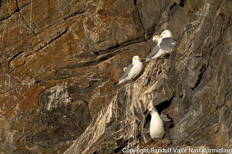 Krykkjer i fuglefjell. ---- Black-legged Kittiwake on bird cliff.