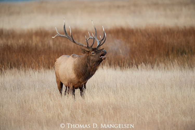 A bull elk bugles in the cold morning air in Yellowstone National Park, Wyoming.