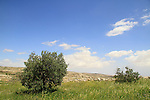 Judea, Southern Hebron Mountains, Olive trees on Tel Ziph